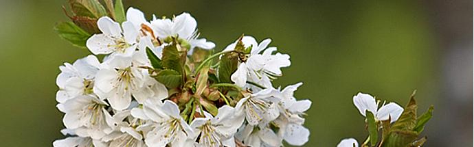 Češnja (Prunus avium)