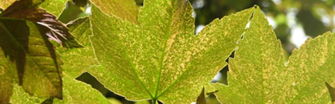 Gorski ali beli javor (Acer pseudoplatanus L.)
