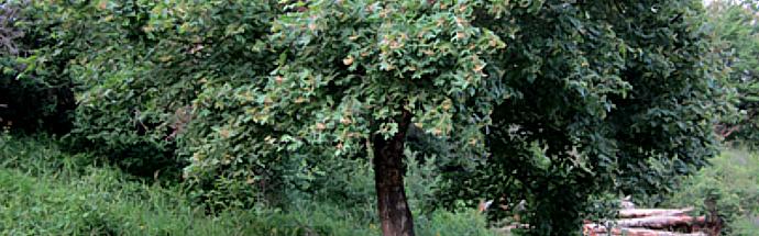 Poljski javor ali maklen (Acer campestre L.)