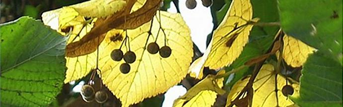 Lipa (Tilia platyphyllos)