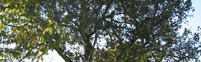 Tepka (Pyrus communis)