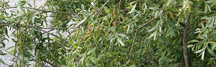Vrba (Salix caprea)