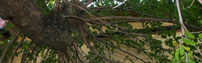 Bela murva (Morus alba)